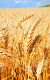 Background of wheat field with ripening golden ears and blue sky Royalty Free Stock Images