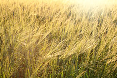Background wheat field shine bright sunlight Stock Photo