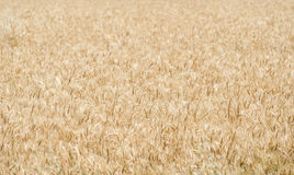 Background of wheat  field Royalty Free Stock Photos