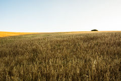Background. Wheat field at sunset with a lone tree at background Stock Images