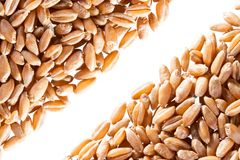 Wheat grain Stock Image