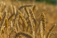 Background of wheat. Ripe wheat. stock photo