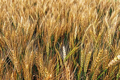 Background with wheat 4 Stock Photography