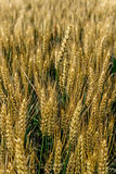 Background with wheat 5 Royalty Free Stock Photos