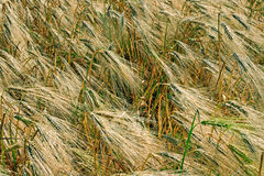 Background with wheat 8 Stock Photo