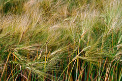 Background with wheat 3 Stock Images