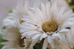 Background of white Artificial Daisy Flowers Stock Photography