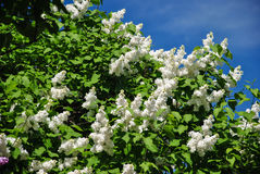 Background of white blooming lilac branch at botanical garden Royalty Free Stock Images