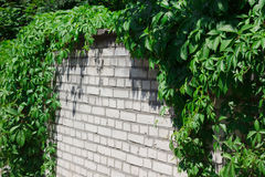 Background white bricks with green summer leaves Royalty Free Stock Photo