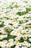 Background from white camomiles Stock Photography
