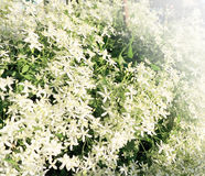 Background from white clematis Royalty Free Stock Photography