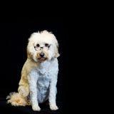 Background with White Dog Wearing Black-rim Glasses Stock Images