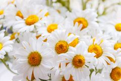 Background of white field daisies with yellow centers.  stock photography