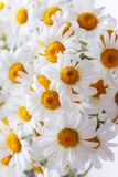Background of white field daisies with yellow centers.  royalty free stock photo