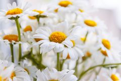 Background of white field daisies with yellow centers.  royalty free stock image