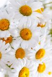 Background of white field daisies with yellow centers.  royalty free stock images