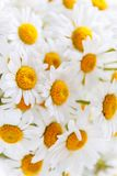 Background of white field daisies with yellow centers.  stock photos