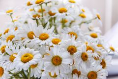 Background of white field daisies with yellow centers.  royalty free stock photography