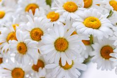 Background of white field daisies with yellow centers.  royalty free stock photos