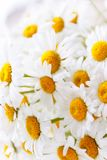 Background of white field daisies with yellow centers.  stock image
