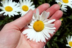 Hand holds a white daisy flower in summer royalty free stock photos