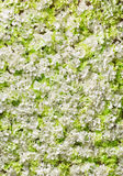 Background of white flowers Royalty Free Stock Image