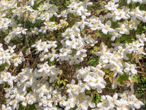 Background of white flowers of Clematis Montana Stock Photo