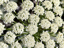 Background of white flowers inflorescences Royalty Free Stock Photo
