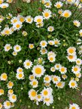Background with white flowers and walkway royalty free stock photography