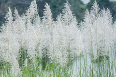 Background White grass flower of reed plant in autumn Royalty Free Stock Photography