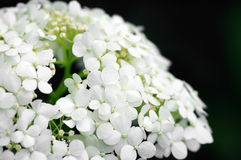 Background of white hydrangea Stock Photo