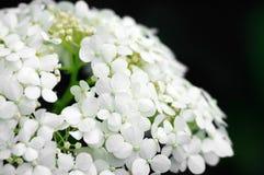 Background of white hydrangea stock photo