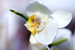 Background of white Japanese Orchid Stock Photo