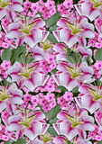 Background from white lilies and pink flowers on a black background Royalty Free Stock Photography