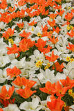 Background with white and orange tulips and hyacinths, a photo f. Rom the top, vertical Royalty Free Stock Photo