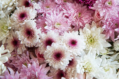 Background of white and pink daisies Royalty Free Stock Photography