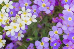 Background of white and purple flowers Stock Photo