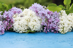 Background of white and purple lilac on blue  surface Royalty Free Stock Photo