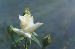Background with white rose Stock Photos