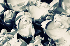 Background from white roses Royalty Free Stock Photography