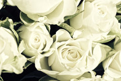 Background from white roses Stock Image