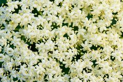 Background of white small flowers. stock image