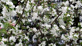 Background of white small flowers