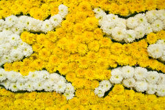 Background of white and yellow chrysanthemum flower Royalty Free Stock Images