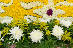 Background of white and yellow chrysanthemum flower Stock Images