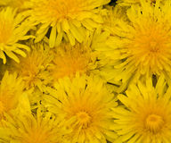 Background wih yellow dandelions Stock Photography