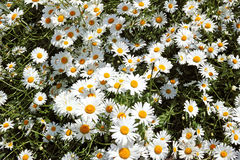 Background of wild daisies Royalty Free Stock Photo