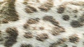 Background of wild feline cat. Texture of wild feline cat fur Royalty Free Stock Photo