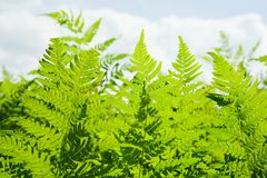 Background of wild fern Royalty Free Stock Photo
