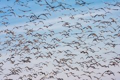 Background of wild geese flying over Flevoland, the Netherlands. Background of wild geese flying over Flevoland against blue sky in the Netherlands Stock Photos